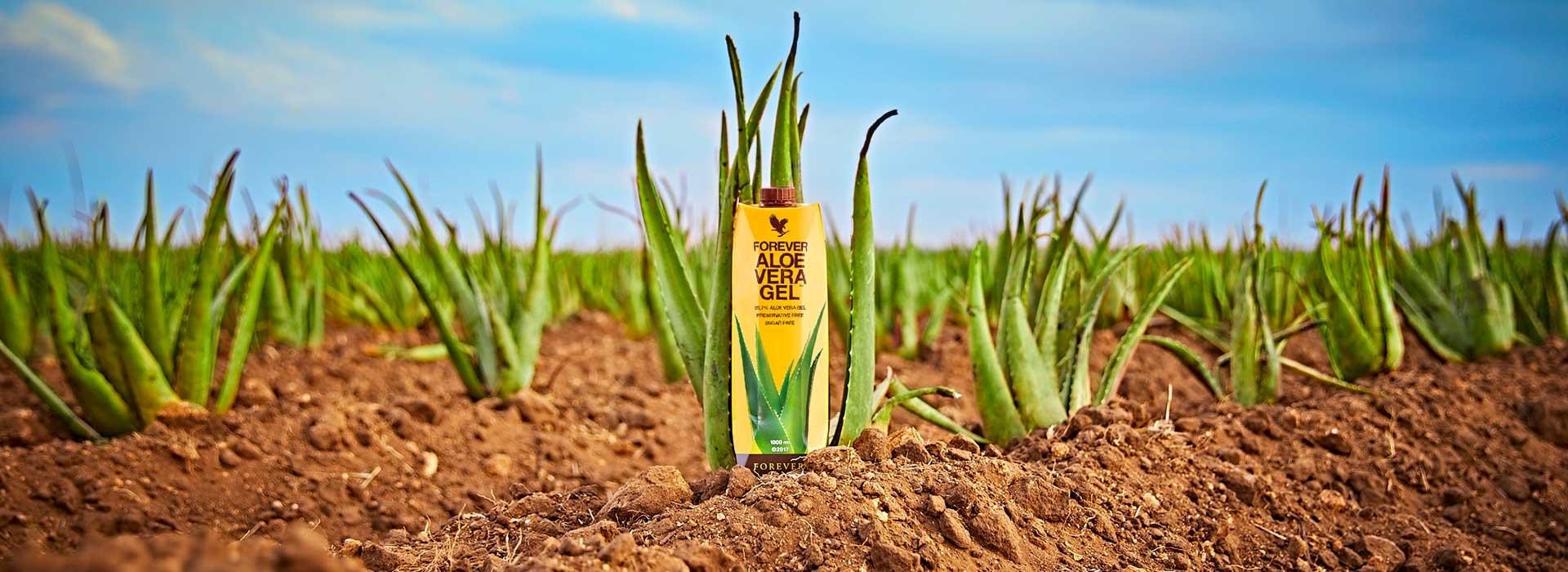 Sonnenperle - Aloefeld mit Aloe Vera Gel